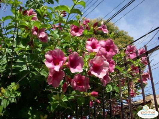 flores-trepadeiras-alamanda