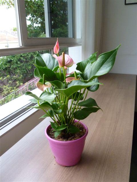 plantas-para-sala-anturio-1