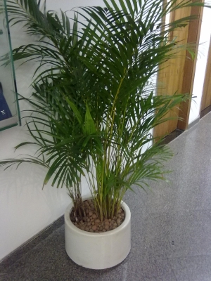 plantas-para-sala-areca