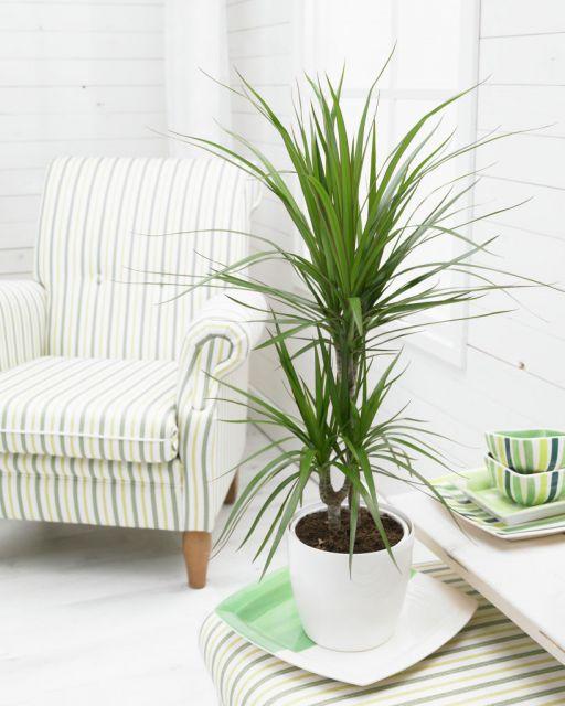 plantas-para-sala-dracena-pau-d-agua