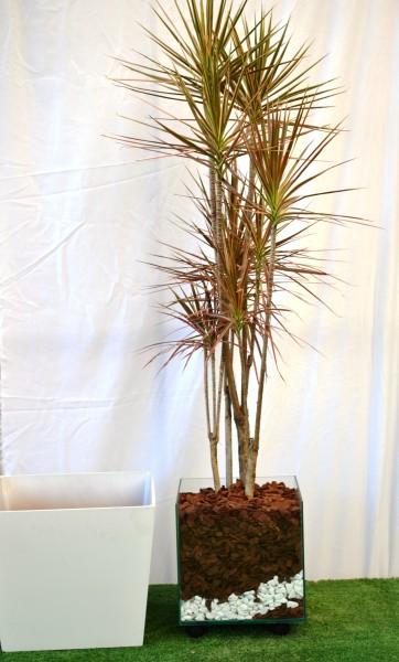 plantas-para-sala-dracena