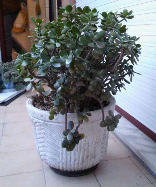 plantas-para-sala-jade-1