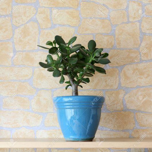 plantas-para-sala-jade