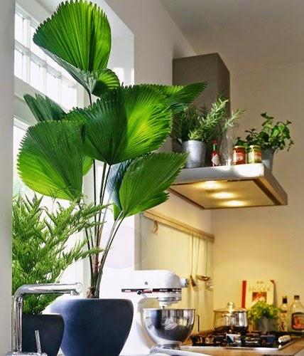plantas-para-sala-palmeira-leque-em-casa