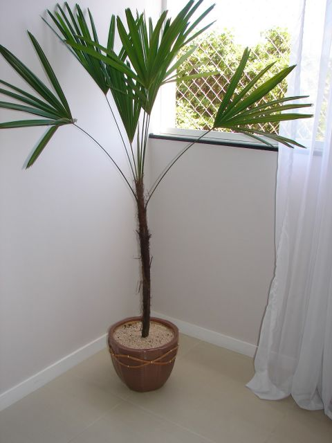 plantas-para-sala-palmeira-rafis