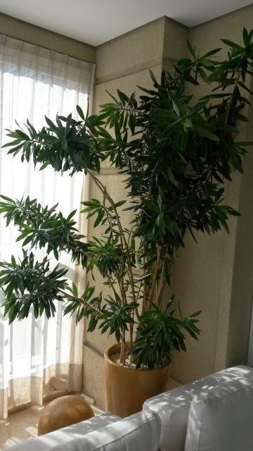 plantas-para-sala-pleomele-1