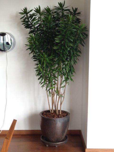 plantas-para-sala-pleomele-2