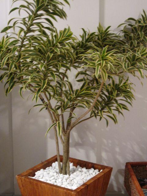 plantas-para-sala-pleomele
