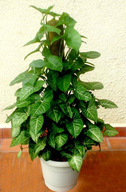 plantas-para-sala-singonio