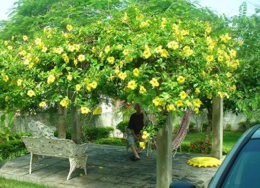 Plantas trepadeiras esp cies e fotos de muros e p rgolas - Plantas para pergolas ...