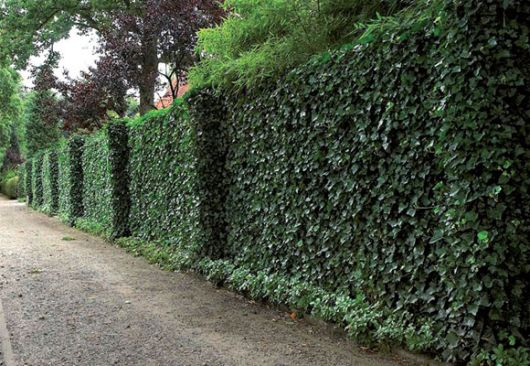 Plantas trepadeiras esp cies e fotos de muros e p rgolas for Plantas trepadoras para muros