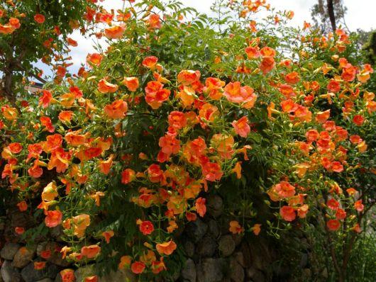 flor Trombeta Chinesa