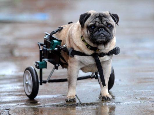 cadeira-de-rodas-para-cachorro-11