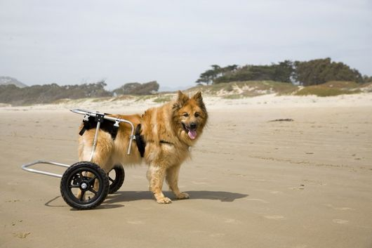 cadeira-de-rodas-para-cachorro-12