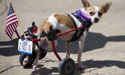 cadeira-de-rodas-para-cachorro-5