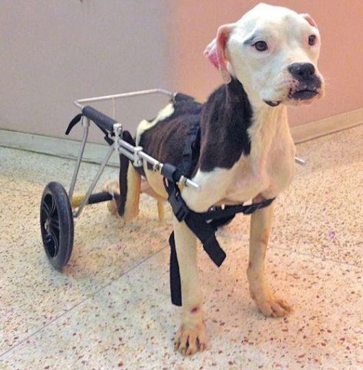 cadeira-de-rodas-para-cachorro-6