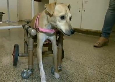 cadeira-de-rodas-para-cachorro-8