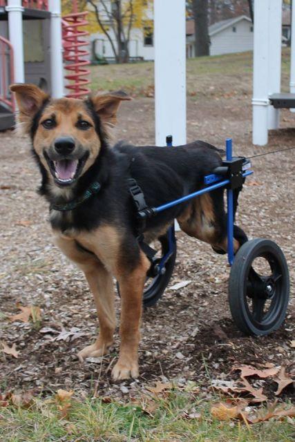 cadeira-de-rodas-para-cachorro-dicas