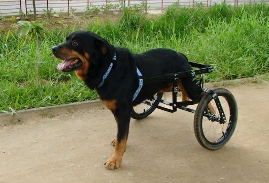 cadeira-de-rodas-para-cachorro-ideias-1
