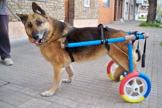 cadeira-de-rodas-para-cachorro-improvisada