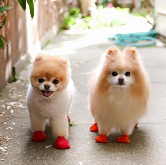 sapatos-para-cachorro-bexiga-2