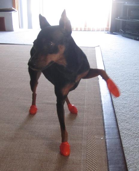sapatos-para-cachorro-bexiga