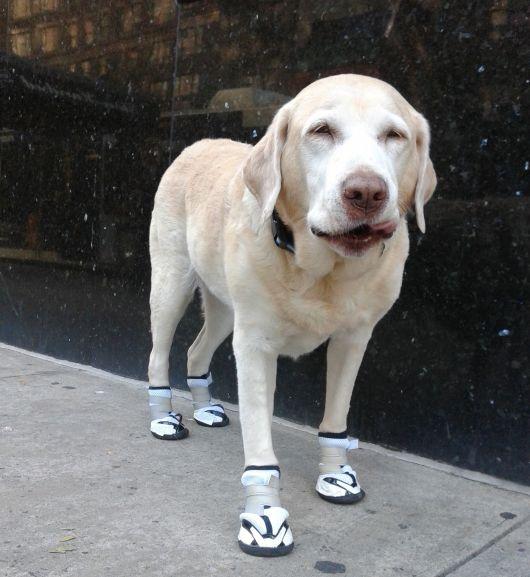 Sapato Para Cachorro Faz Mal Pode Usar Veja Fotos E