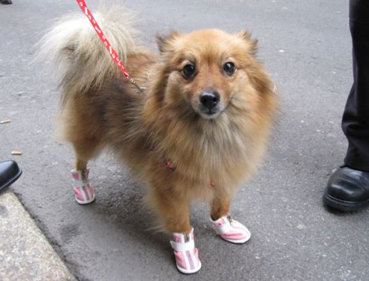 sapatos-para-cachorro-tenis-9