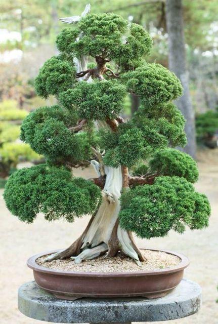 Bonsai dicas de como cuidar e esp cies para plantar for Como cultivar bonsais