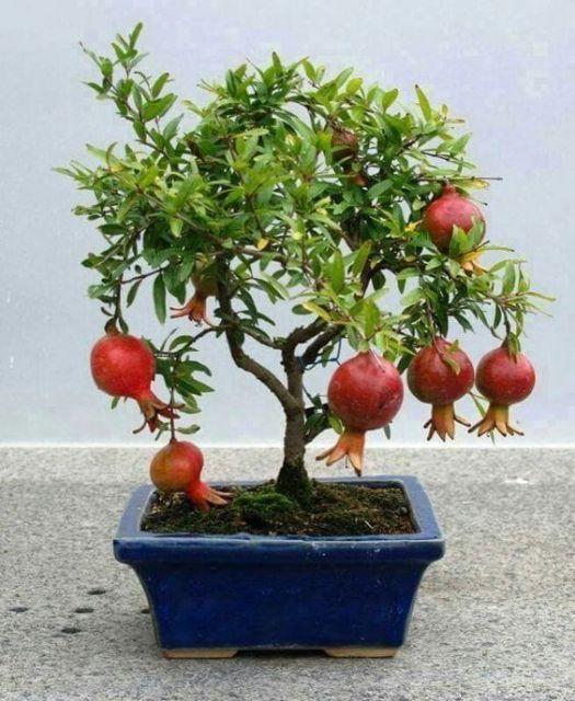 bonsai de frutas