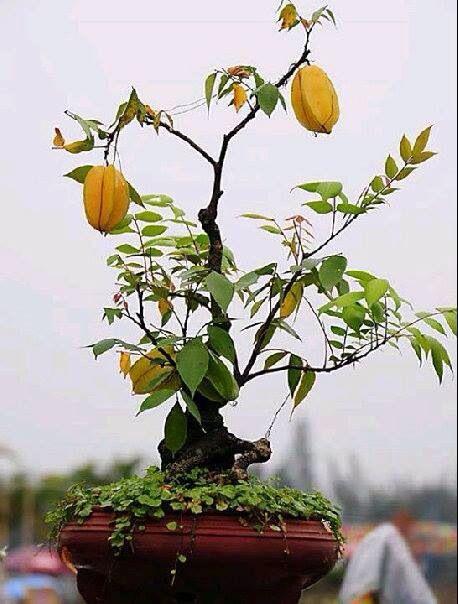 bonsai carambola