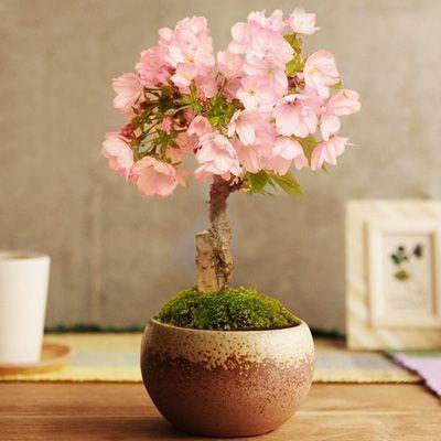 cerejeira em vaso