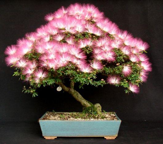 caliandra rosa