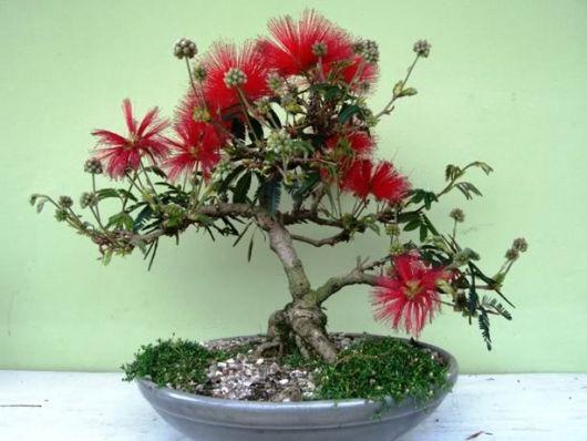 caliandra vermelha