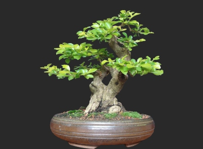 arbusto em vaso