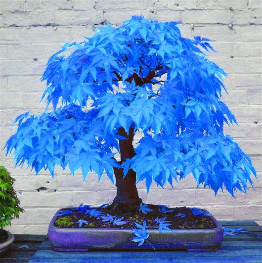 folhagem azul