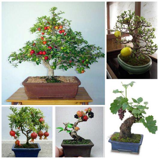 Cuidar un bonsai amazing imagem de um bonsai de buxus ou - Como cuidar un bonsai ...