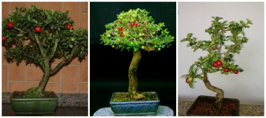 bonsai acerola