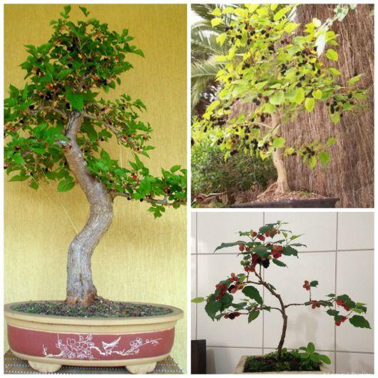 Bonsai de frutas como cuidar e dicas de esp cies para for Como cultivar bonsais
