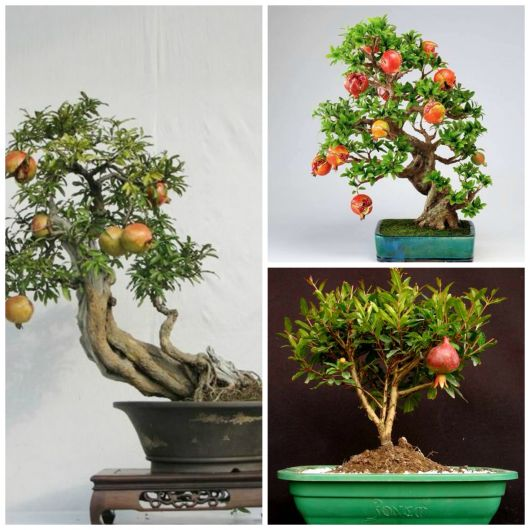 bonsai romã