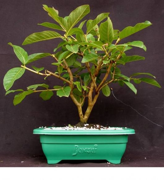 bonsai goiaba