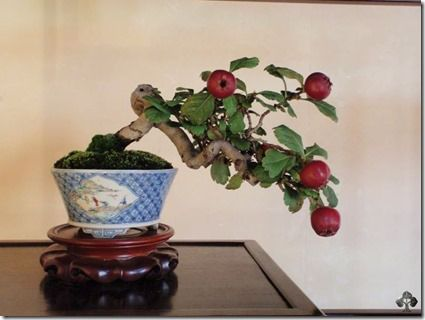 bonsai maçã