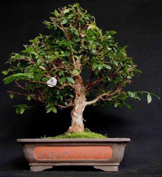 Bonsai de frutas como cuidar e dicas de esp cies para - Como cultivar bonsai ...