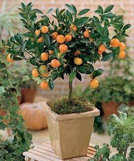 como cuidar de um bonsai laranja