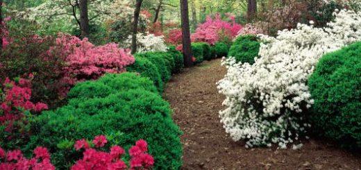 Jardim de Azaleias com uma trilha ao centro
