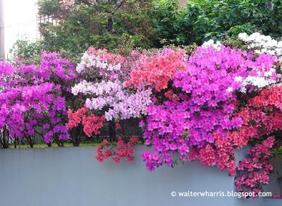 Azaleia com flores em diferentes tons de rosa