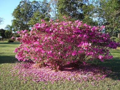 Azaleia com flores rosas no jardim