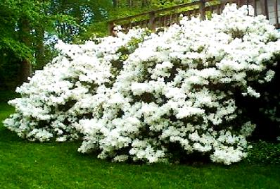 Azaleia com flores brancas no jardim