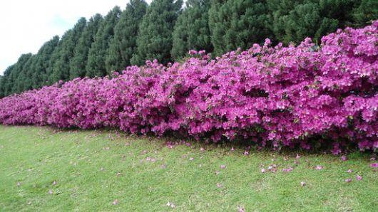 Cerca viva de Azaleia com flores rosas