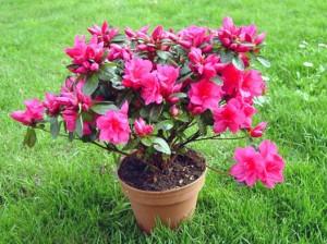 Vaso com azaleia com flores rosas